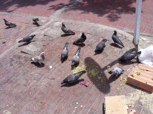 oiseaux candelaria