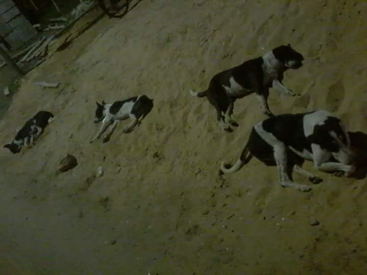 Calcutta chiens