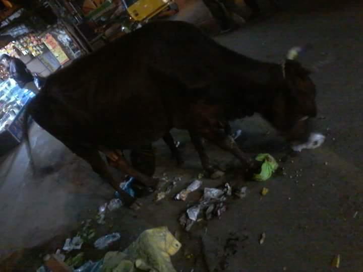 Chennai et ses vaches