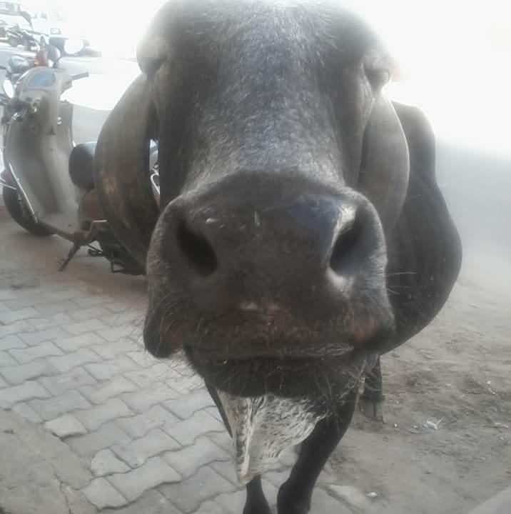 Vache pushkar